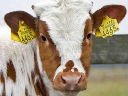 畜牧业RFID超高频动物电子标签 牛羊耳标标签